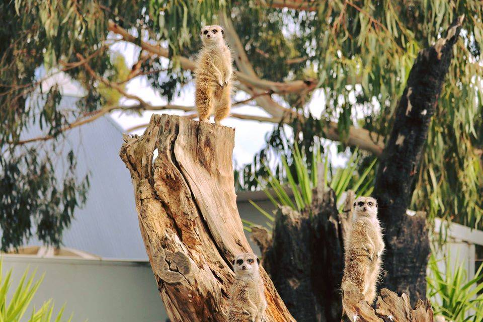 The meerkats at the Halls Gap Zoo are among the more than 600 animals people can go see again from Monday. Picture: HALLS GAP ZOO