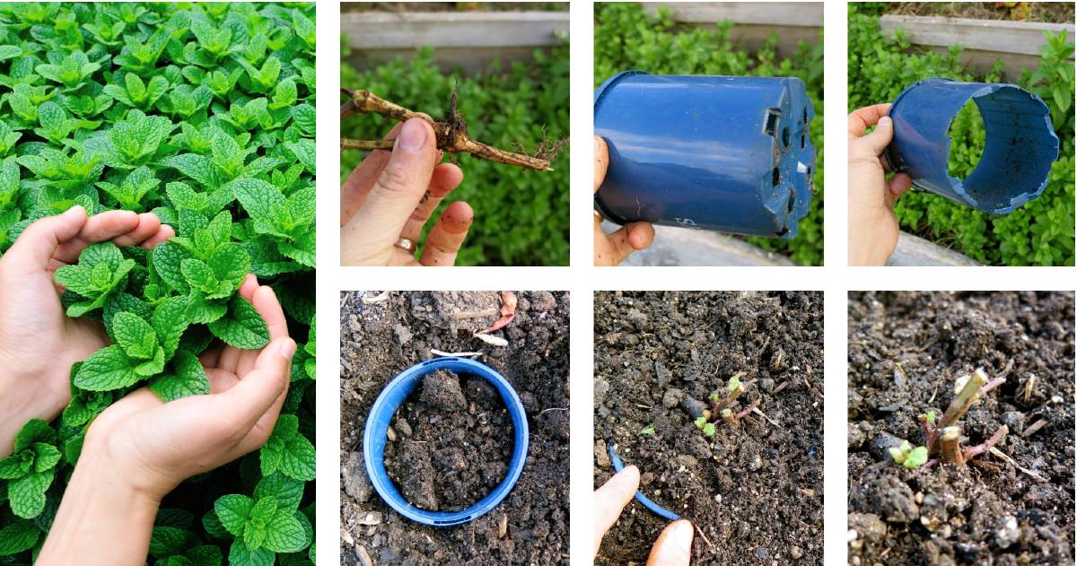 If left unchecked mint can take over. But there's a simple solution for growing mint without it invading the rest of your vegie garden. Photos: Shutterstock and Hannah Moloney.